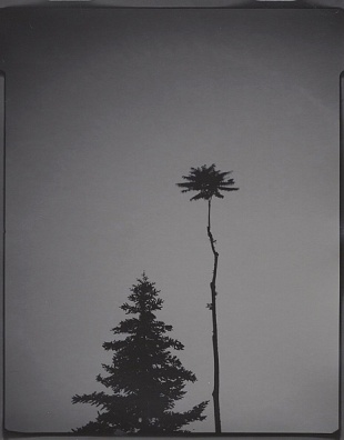 Portrait of trees #10. 4x5 inches gelatin silver paper. Unique, 2018.