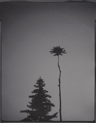 Portrait of trees #10. 4x5 inches gelatin silver paper. Unique, 2018.